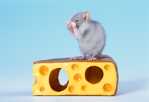 ROD 03 KH0008 01 © Kimball Stock Gray Rat Sitting On Cheese Cleaning Face
