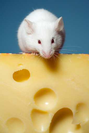 ROD 03 RD0001 01 © Kimball Stock Close Up Of White Rat Sitting On Swiss Cheese Studio