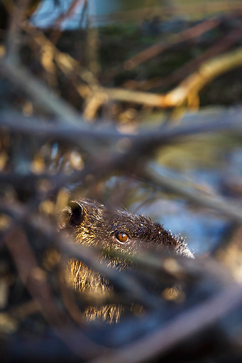 ROD 04 KH0002 01 © Kimball Stock Portrait Of Nutria Behind Sticks In River Alsace, France