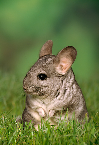 ROD 04 TK0001 01 © Kimball Stock Chinchilla Sitting In Grass