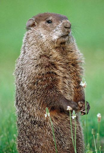ROD 05 GR0002 01 © Kimball Stock Portrait Of Woodchuck Sitting Upright On Grass