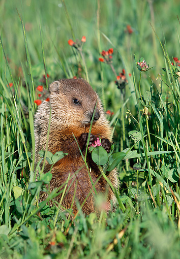 ROD 05 LS0001 01 © Kimball Stock Woodchuck Sitting Upright In Grass and Wildflowers Minnesota