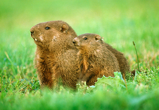 ROD 05 GR0001 02 © Kimball Stock Mother And Baby Woodchuck Sitting On Grass