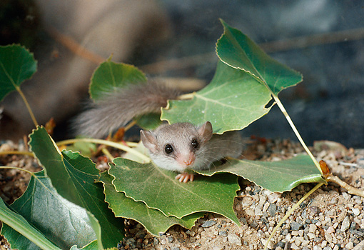 ROD 06 BA0001 01 © Kimball Stock Dwarf Dormouse Laying In Leaves