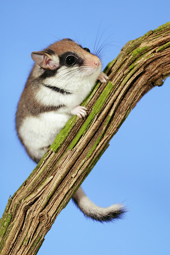 ROD 06 GL0001 01 © Kimball Stock Garden Dormouse Climbing Branch Against Blue Sky