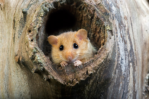 ROD 06 GL0002 01 © Kimball Stock Common Dormouse Peeking Out Of Entrance To Nest