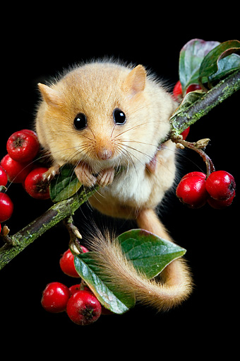 ROD 06 GL0003 01 © Kimball Stock Common Dormouse Climbing On Twig With Red Berries