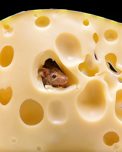 ROD 06 GL0004 01 © Kimball Stock Gray Mouse Peeking Head Out Of Hole In Cheese