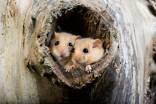 ROD 06 GL0005 01 © Kimball Stock Common Dormouse Pair In Nest Normandy