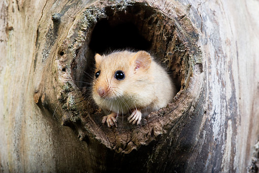 ROD 06 GL0006 01 © Kimball Stock Common Dormouse Sitting In Tree