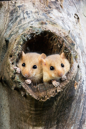 ROD 06 GL0007 01 © Kimball Stock Common Dormice Sitting In Tree