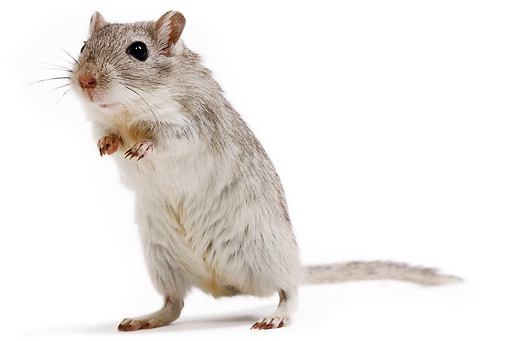 ROD 06 JE0002 01 © Kimball Stock Mongolian Gerbil Standing On White Seamless