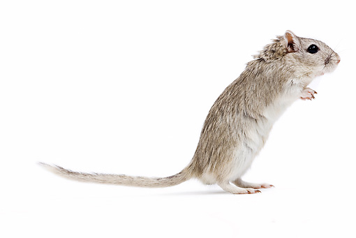 ROD 06 JE0003 01 © Kimball Stock Mongolian Gerbil Standing On White Seamless Profile