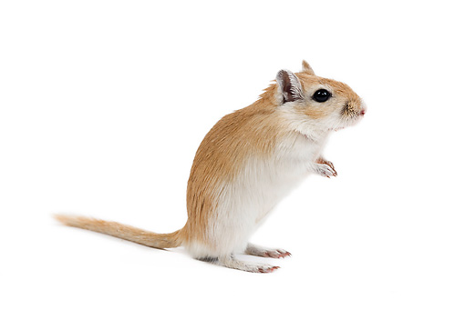 ROD 06 JE0004 01 © Kimball Stock Mongolian Gerbil Standing On White Seamless