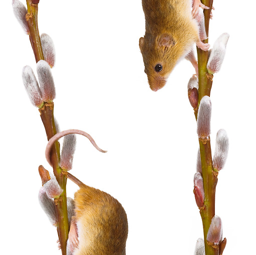 ROD 06 KH0009 01 © Kimball Stock Harvest Mice Climbing On Willow Catkins On White Seamless