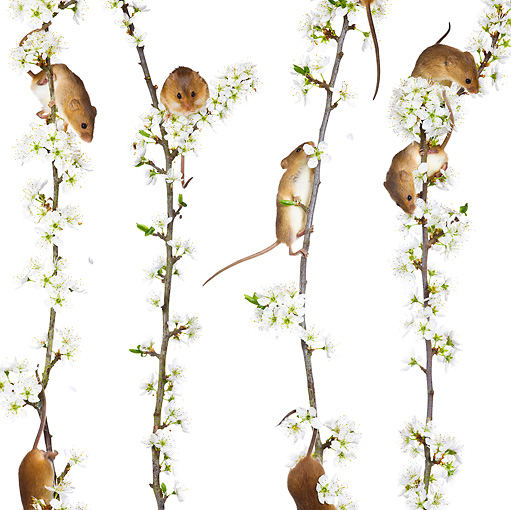 ROD 06 KH0011 01 © Kimball Stock Harvest Mice Climbing On Flowering Backthorn On White Seamless