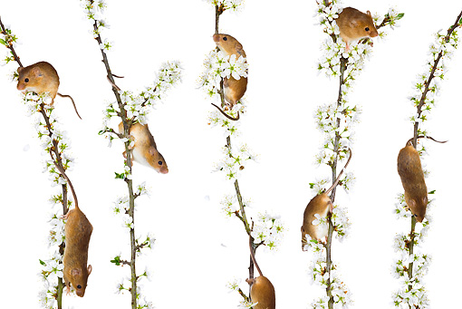 ROD 06 KH0012 01 © Kimball Stock Harvest Mice Climbing On Flowering Backthorn On White Seamless