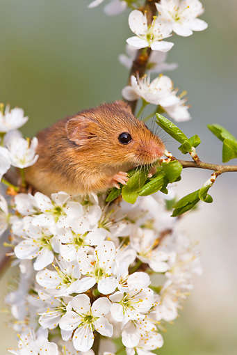 ROD 06 KH0013 01 © Kimball Stock Harvest Mouse Climbing On Flowering Backthorn