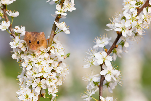 ROD 06 KH0014 01 © Kimball Stock Harvest Mouse Climbing On Flowering Backthorn