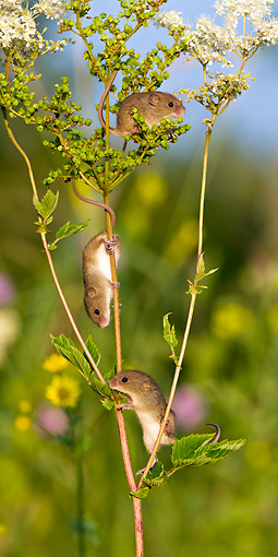 ROD 06 KH0016 01 © Kimball Stock Harvest Mice Climbing On Meadowsweet