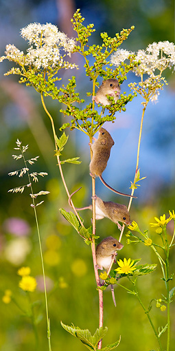ROD 06 KH0017 01 © Kimball Stock Harvest Mice Climbing On Meadowsweet