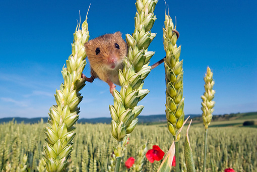 ROD 06 KH0018 01 © Kimball Stock Harvest Mouse In Field Of Wheat