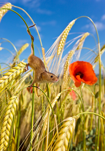 ROD 06 KH0019 01 © Kimball Stock Harvest Mouse Climbing In Field Of Wheat