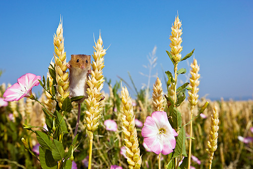 ROD 06 KH0020 01 © Kimball Stock Harvest Mouse Climbing In Field Of Wheat