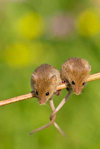 ROD 06 KH0021 01 © Kimball Stock Harvest Mice Sitting On Stalk Of Meadowsweet With Tails Tied Together