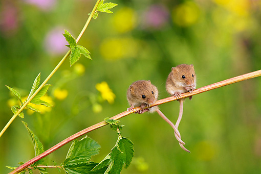 ROD 06 KH0022 01 © Kimball Stock Harvest Mice Sitting On Stalk Of Meadowsweet With Tails Tied Together
