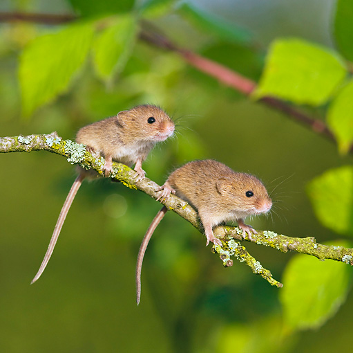 ROD 06 KH0023 01 © Kimball Stock Harvest Mice Sitting On Willow Twig