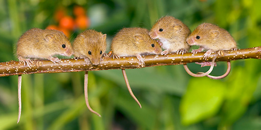 ROD 06 KH0024 01 © Kimball Stock Harvest Mice Sitting On Willow Twig