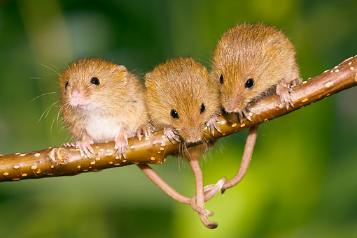 ROD 06 KH0025 01 © Kimball Stock Harvest Mice Sitting On Willow Twig With Tails Tied For Balance