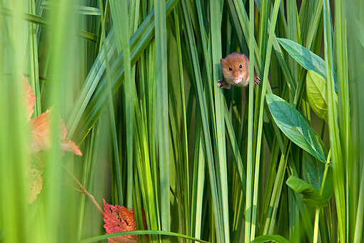 ROD 06 KH0026 01 © Kimball Stock Harvest Mouse Climbing In Sedge Meadow