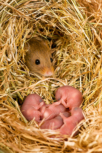 ROD 06 KH0027 01 © Kimball Stock Harvest Mouse Sitting In Nest With Baby Mice