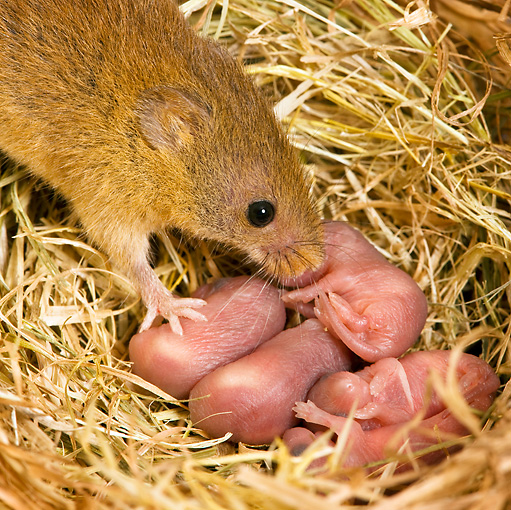 ROD 06 KH0028 01 © Kimball Stock Close-Up Of Harvest Mouse Sitting In Nest With Baby Mice
