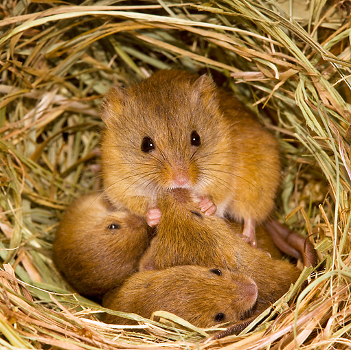 ROD 06 KH0029 01 © Kimball Stock Harvest Mouse Sitting In Nest With Baby Mice