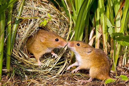 ROD 06 KH0030 01 © Kimball Stock Harvest Mice Sitting In Nest Kissing