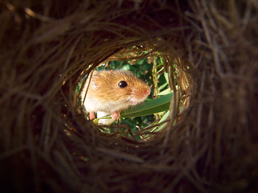 ROD 06 KH0031 01 © Kimball Stock Harvest Mouse Peeking Inside Nest