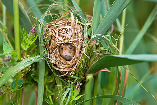 ROD 06 KH0033 01 © Kimball Stock Harvest Mouse Sitting Inside Nest