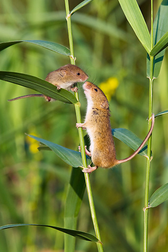 ROD 06 KH0036 01 © Kimball Stock Harvest Mouse Climbing On Grass Sniffing Baby Mouse