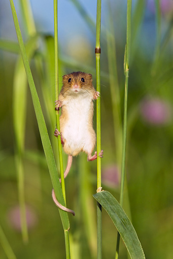 ROD 06 KH0037 01 © Kimball Stock Harvest Mouse Clinging To Grass Stems
