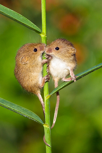 ROD 06 KH0038 01 © Kimball Stock Harvest Mice Climbing On Grass Stems