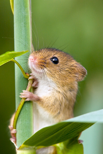 ROD 06 KH0039 01 © Kimball Stock Close-Up Of Harvest Mouse Climbing On Grass Stems