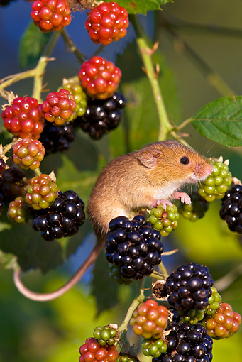 ROD 06 KH0040 01 © Kimball Stock Harvest Mouse Climbing On Raspberries