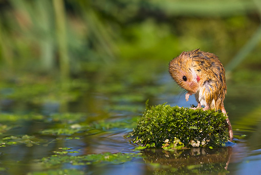 ROD 06 KH0041 01 © Kimball Stock Harvest Mouse Sitting On Rock By Pond Grooming
