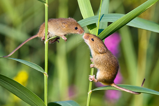 ROD 06 KH0042 01 © Kimball Stock Harvest Mouse Climbing On Grass Stems Sniffing Baby Mouse