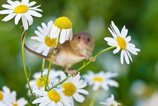 ROD 06 KH0045 01 © Kimball Stock Harvest Mouse Climbing On Daisies