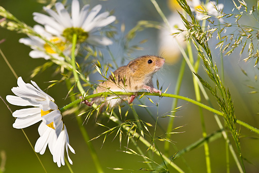 ROD 06 KH0046 01 © Kimball Stock Harvest Mouse Climbing On Daisies