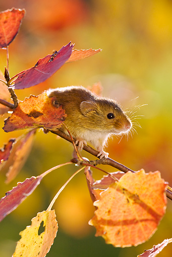 ROD 06 KH0047 01 © Kimball Stock Harvest Mouse Climbing On Aspen Foilage In Autumn